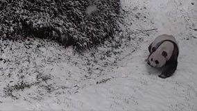 Happy National Zoo pandas slide through snow in reminder there is joy in this world