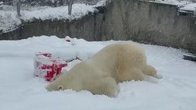 Polar bear named 'Blizzard' faceplants into snow at Washington zoo