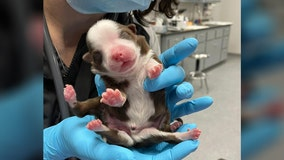 'Miracle' puppy born with six legs in Oklahoma