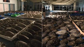 More than 4,500 cold-stunned sea turtles rescued from frigid Texas waters