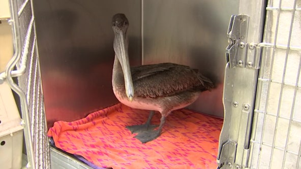 Source of pelican mutilation remains a mystery as number of battered birds climbs