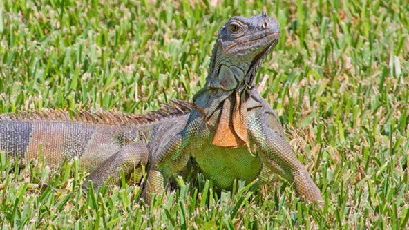 FWC votes to prohibit breeding of 16 non-native reptiles, including green iguanas