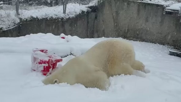 Polar bear named 'Blizzard' faceplants into snow at Washington zoo