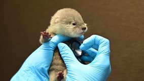 Adorable! Baby otters born for the first time at Discovery Cove