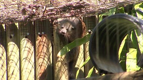 'Popcorn-scented' family of binturongs make public debut at ZooTampa