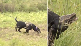 Florida wildlife officials training K9s to sniff out Burmese pythons in Everglades