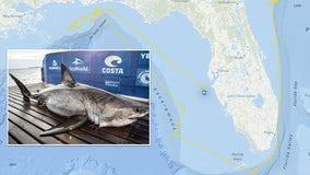 After 3,000-mile swim, great white shark tracked near Tampa Bay