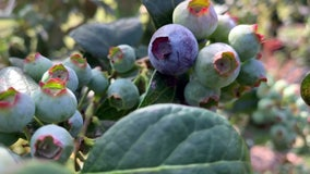 Old Florida, new crop: Long-time Sarasota farmers invite public to pick blueberries