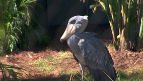 Rare, endangered birds go back on public display at ZooTampa