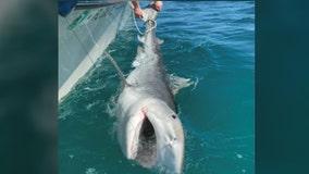 Fishermen catch 'monster' tiger shark off Florida coast