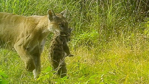 Florida panther mom uses wildlife crossing under I-75 to move three kittens to refuge