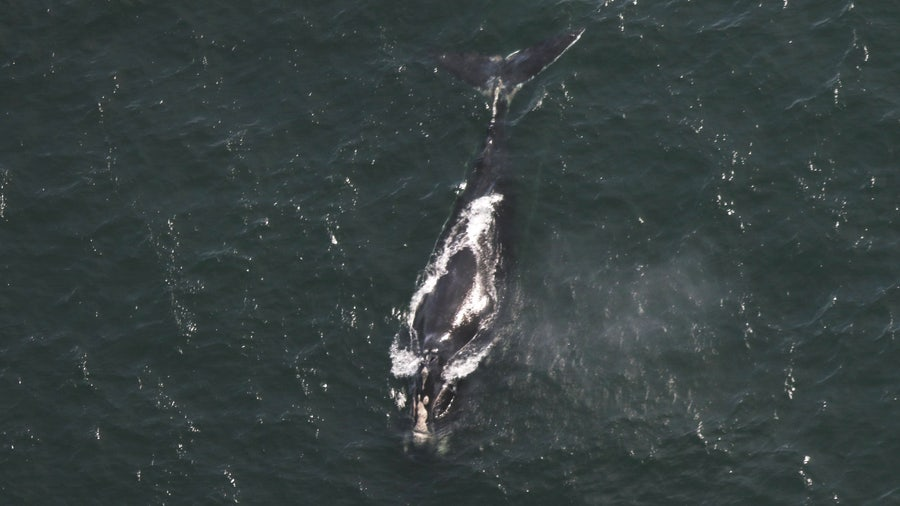 Critically endangered right whale found dead off South Carolina beach