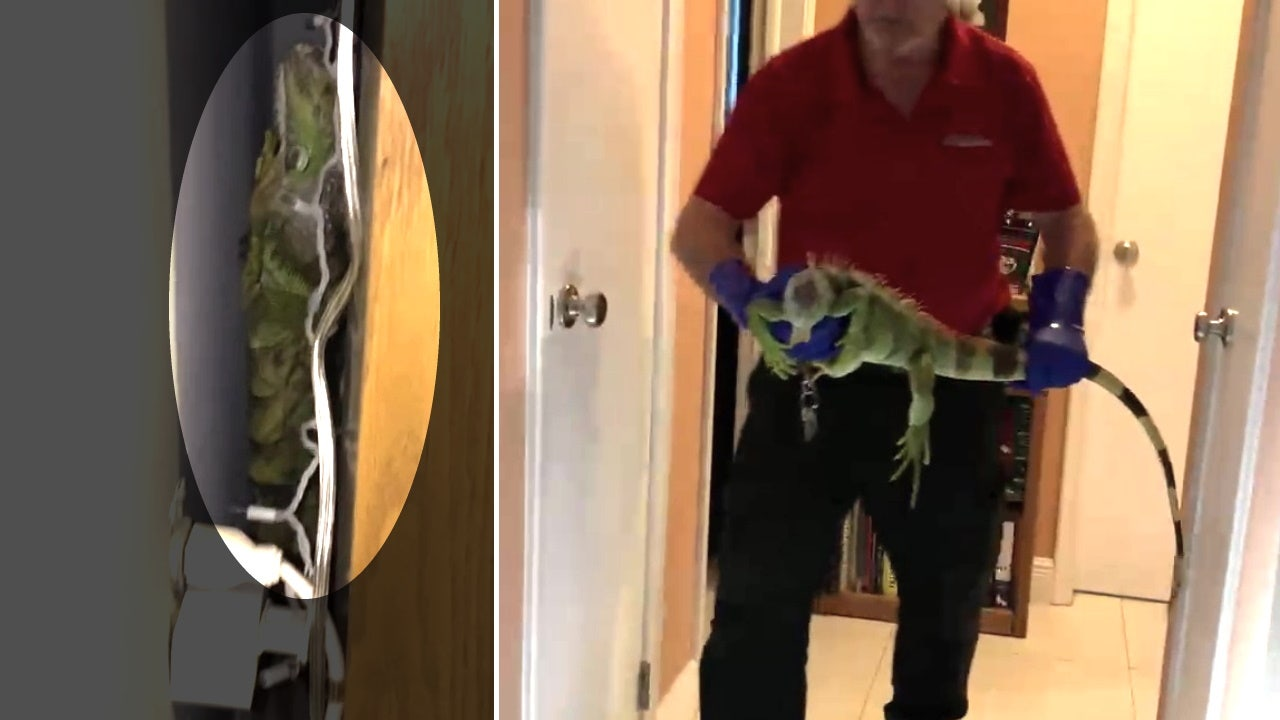 Iguana breaks into South Florida home, trashes woman's room