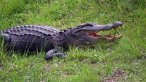 Experts advise steering clear of gators during mating season after two recent attacks