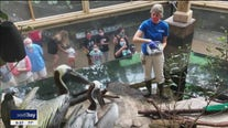 Brown pelicans are permanent residents at Florida Aquarium