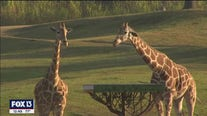 New Giraffe Bar at Busch Gardens allows guests to sip cocktails with a conservation cause at Serengeti Outlook