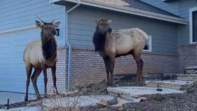 Man 'trapped' on top of car films elk exploring his front yard