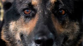 Ex-police dog's serious reaction to word 'cocaine' rocks TikTok