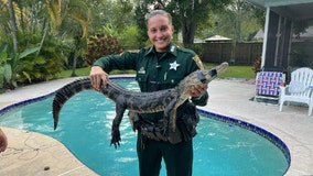 Pinellas County deputy 'plays lifeguard,' kicks gator out of private pool