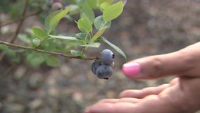 Blueberries are a cash crop for farm where visitors pick produce, enjoy fruits of labor inside winery