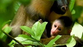 It's a girl! Disney's Animal Kingdom welcomes adorable baby monkey