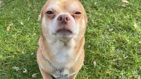 Brutally honest adoption post for 'demonic Chihuahua' goes viral