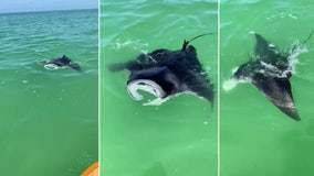 Large manta ray swims right up to paddleboarder off Indian Rocks Beach
