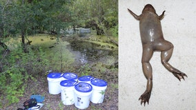 'Tens of thousands' of nonnative tropical clawed frogs pulled from Hillsborough waterways