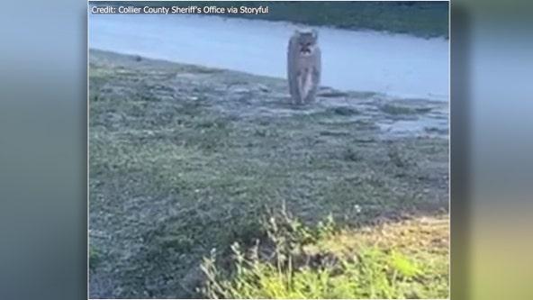 Florida deputy spots endangered panther