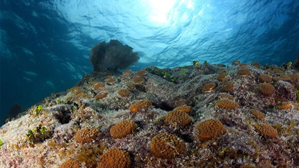 Environmental groups begin planting coral fragments at reefs off Florida Keys