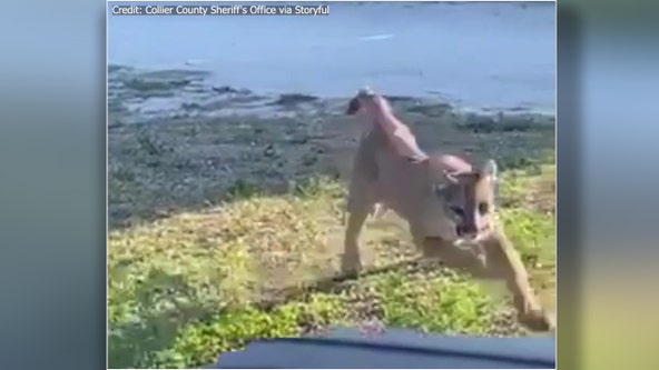 Deputy encounters rare, endangered Florida panther