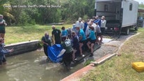Manatee released after eating toxic algae