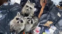 Truck driver comes to the rescue of raccoons stuck in dumpster
