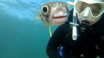 Pufferfish poses for selfie with underwater diver