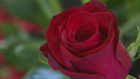 How to pick the right rose to grow at home