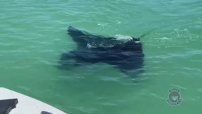 Giant manta ray swims near Sarasota police patrol boat