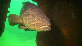 Florida may allow limited harvest of goliath grouper