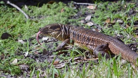 Residents on the lookout for exotic lizard running loose in Lakeland neighborhood