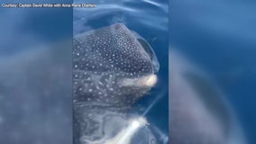 'I think he likes us': 3 whale sharks surprise fishing captain, customers off Anna Maria Island