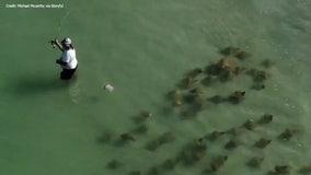 'Sneaky' school of stingrays swims around oblivious fisherman off St. Pete Beach