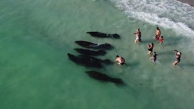 'Hands off': Researcher says human interaction is one of the biggest threats to manatees