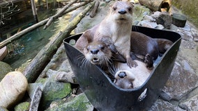 'Have an ice day': Otters chill out at Oregon Zoo