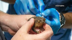 ZooTampa helps efforts to restore Puerto Rican crested toad population