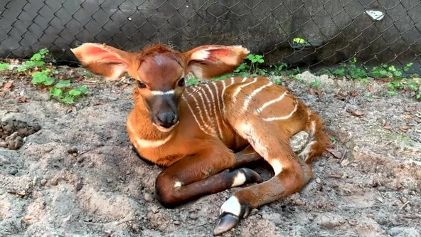 Baby bongo born at ZooTampa helps sustain critically endangered species