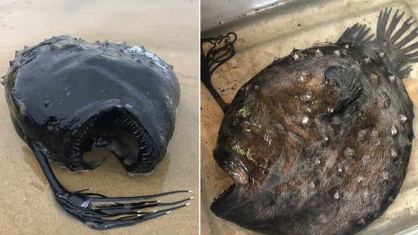 Rare fish that lives thousands of feet under the ocean washes ashore in California state park