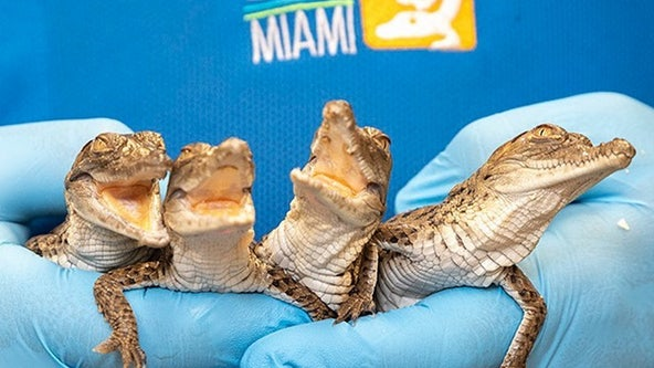 Critically endangered crocodiles hatch at Zoo Miami