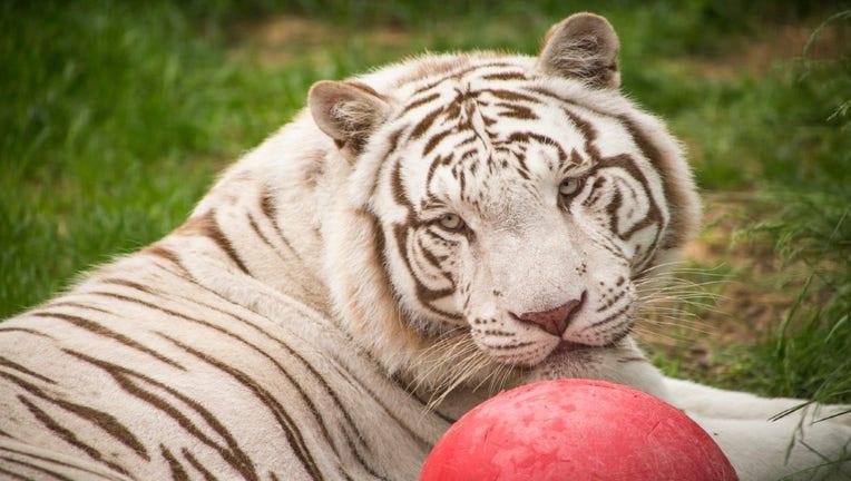 tiger rescued