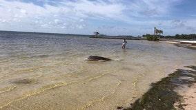 FWC: Dead dolphin found near Vinoy Park, St. Pete pier