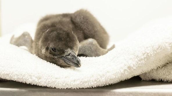 Chicago aquarium welcomes penguin chick to colony