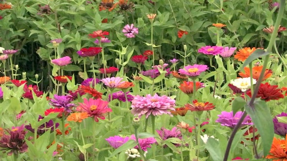 You-pick flower season blooms in Plant City berry fields